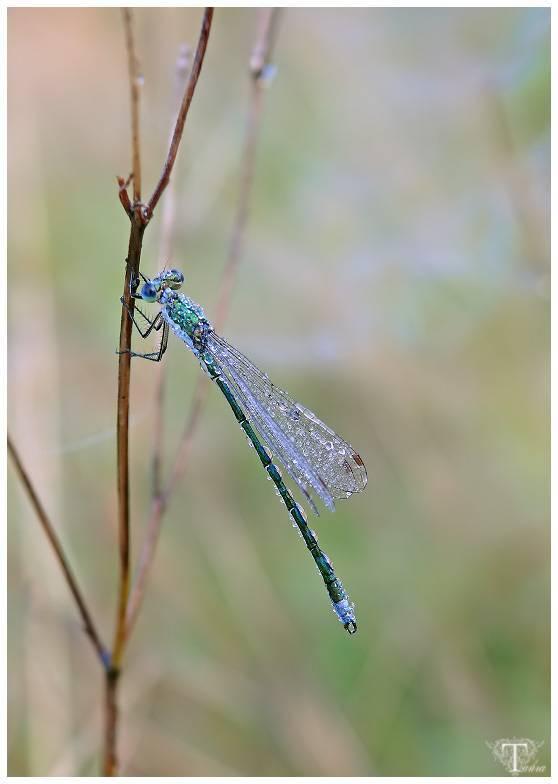 Личинка стрекозы: название, внешний вид и места обитания