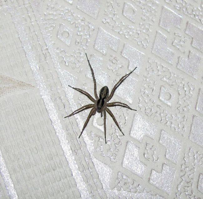 Чем питаются и что едят пауки в доме - как избавиться он надоедливых насекомых / vantazer.ru – информационный портал о ремонте, отделке и обустройстве ванных комнат