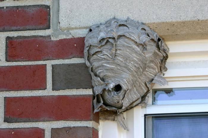 Как избавиться от ос и осиного гнезда на балконе своими силами