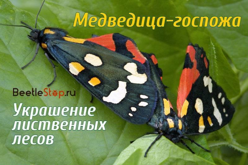 Перламутровка большая - крупная желтовато-оранжевая бабочка с тёмными точками и полосками на крыльях