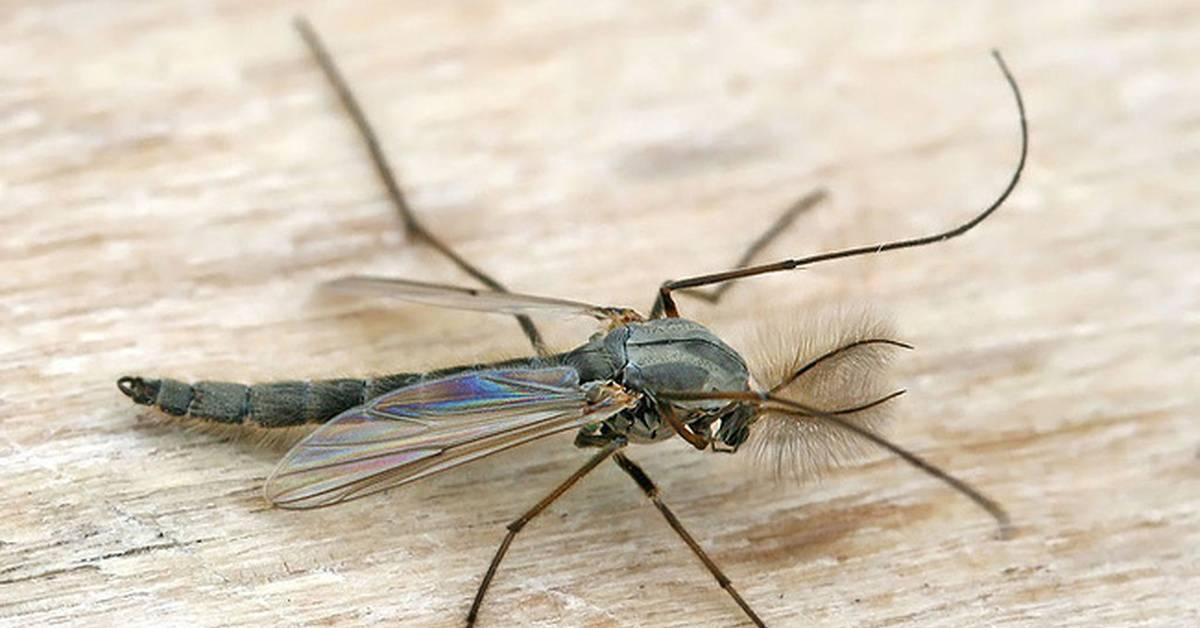 Комары: откуда берутся, как размножаются, чем питаются и как выглядят на разных стадиях развития - личинки и имаго, фото