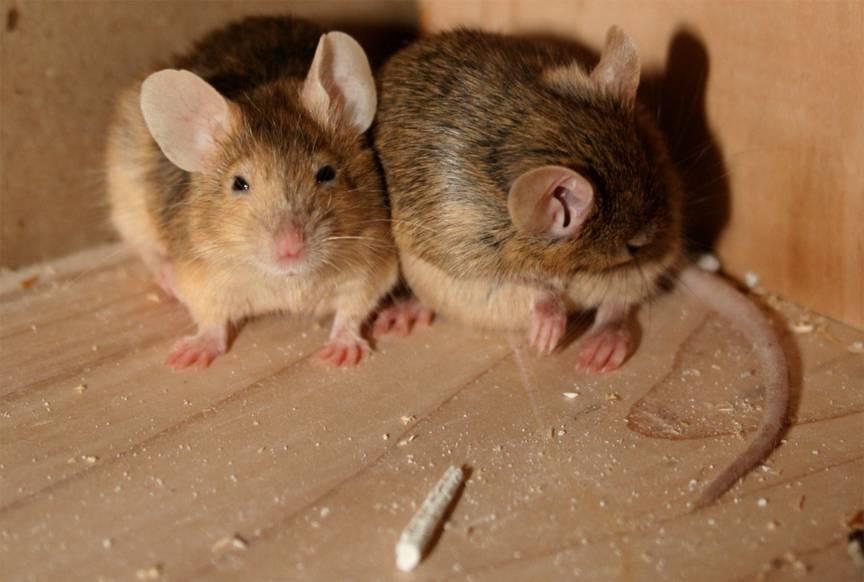 Интересные факты о домовых мышах