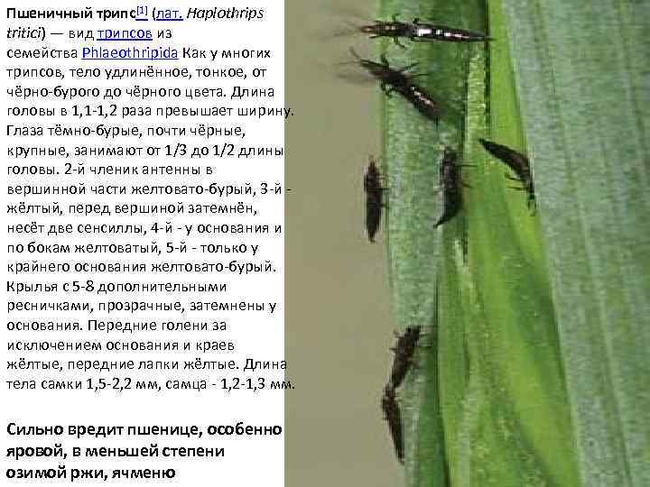 Трипсы на комнатных растениях- виды с фото, борьба с вредителем