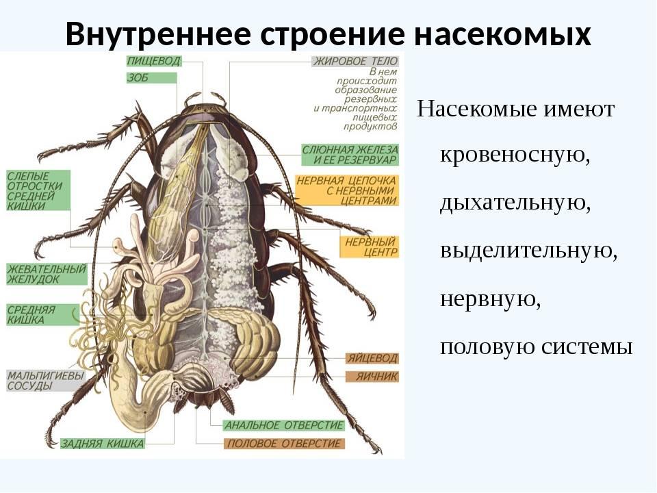 Строения таракана бог создал совершенное насекомое