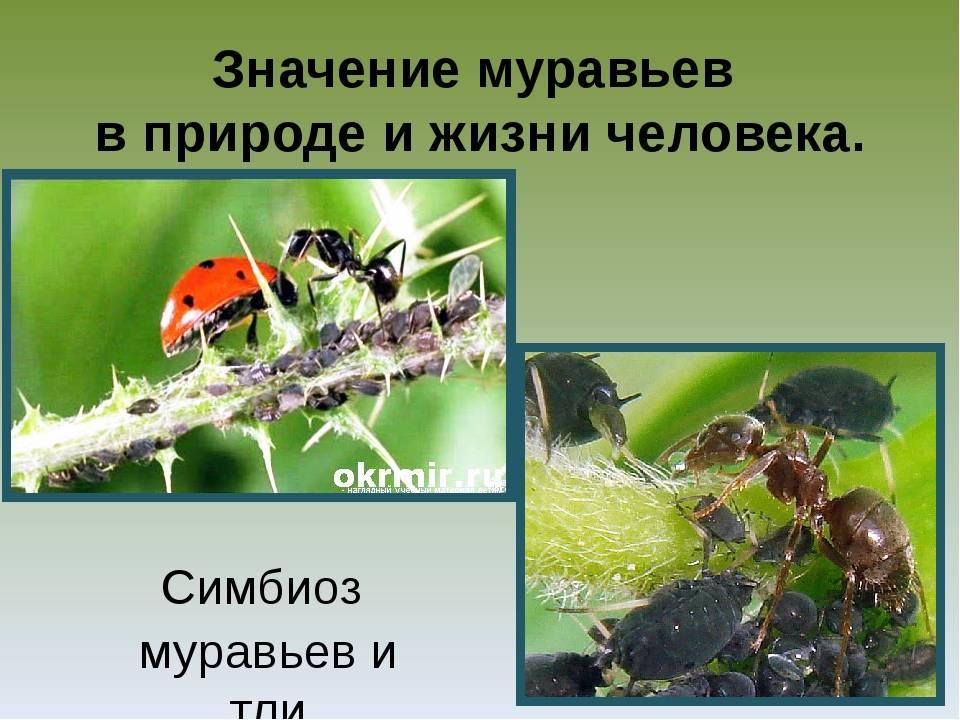 Как связаны муравьи и тля