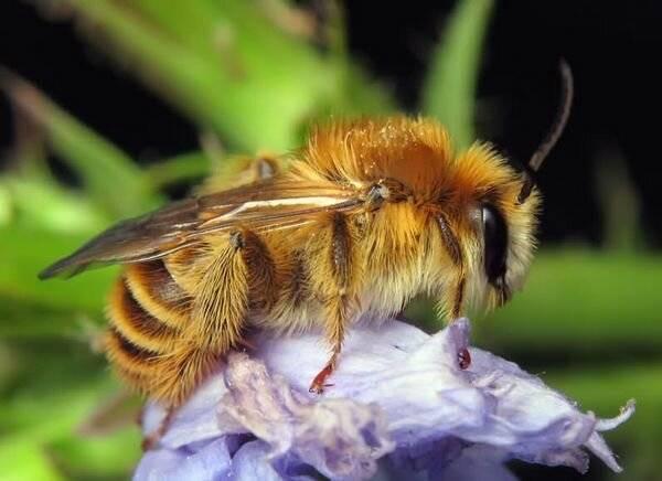 Шмель - насекомое полезное, фото
