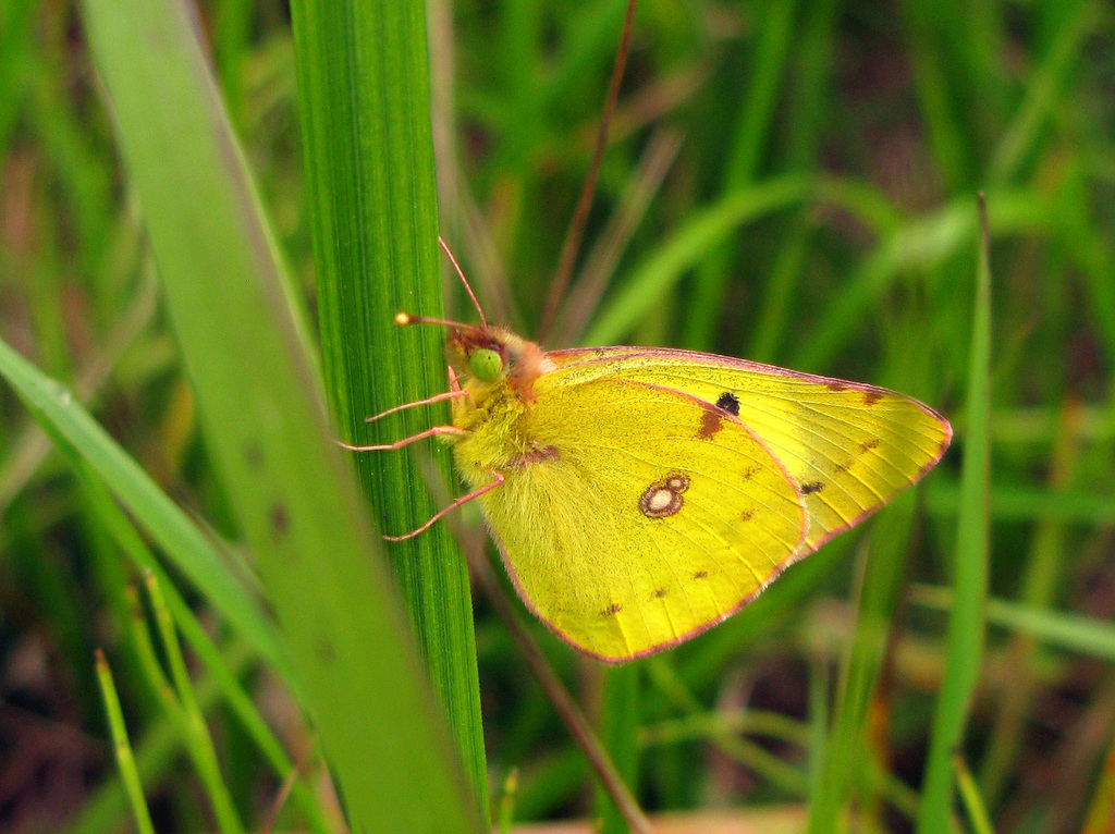 Бабочка желтушка луговая. бабочка желтушка луговая – любительница клевера и люцерны рассказ про бабочку луговая желтушка