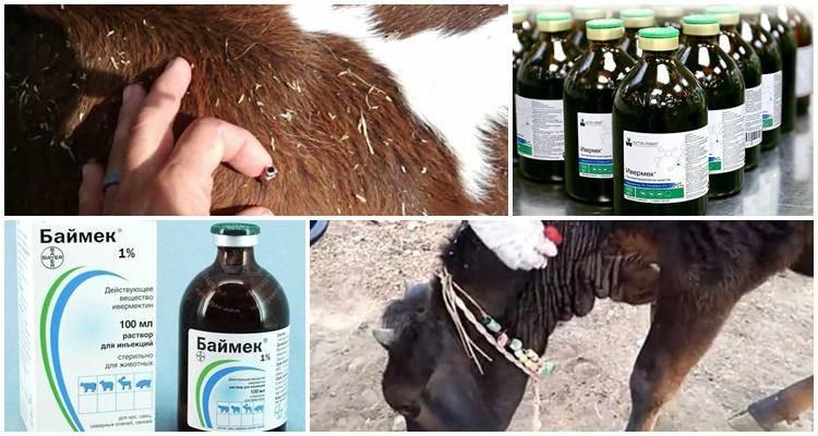 Как и чем лечить чесотку у коров