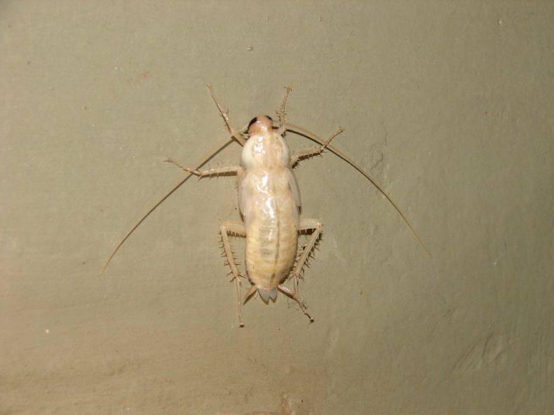 Белые тараканы в квартире откуда берутся