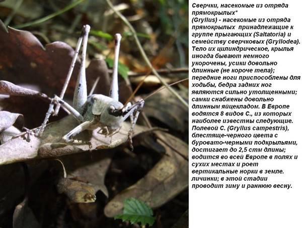 Звуки ночных сверчков скачать и слушать онлайнзвук сверчка: как и зачем насекомое стрекочет?