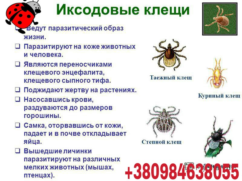Знакомьтесь – иксодовые клещи! как уберечься от клещей и их инфекций