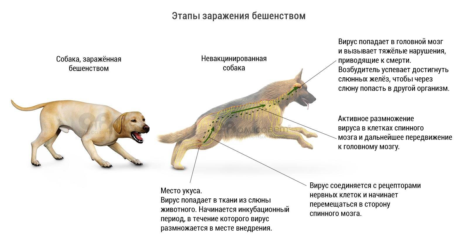 Крысы: в каких случаях они нападают на человека   русская семерка