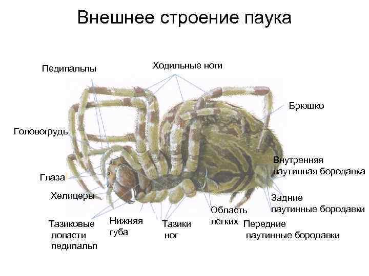 Скелет человека — википедия. что такое скелет человека