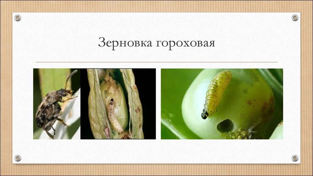 Зерновка – злостный вредитель бобовых культур