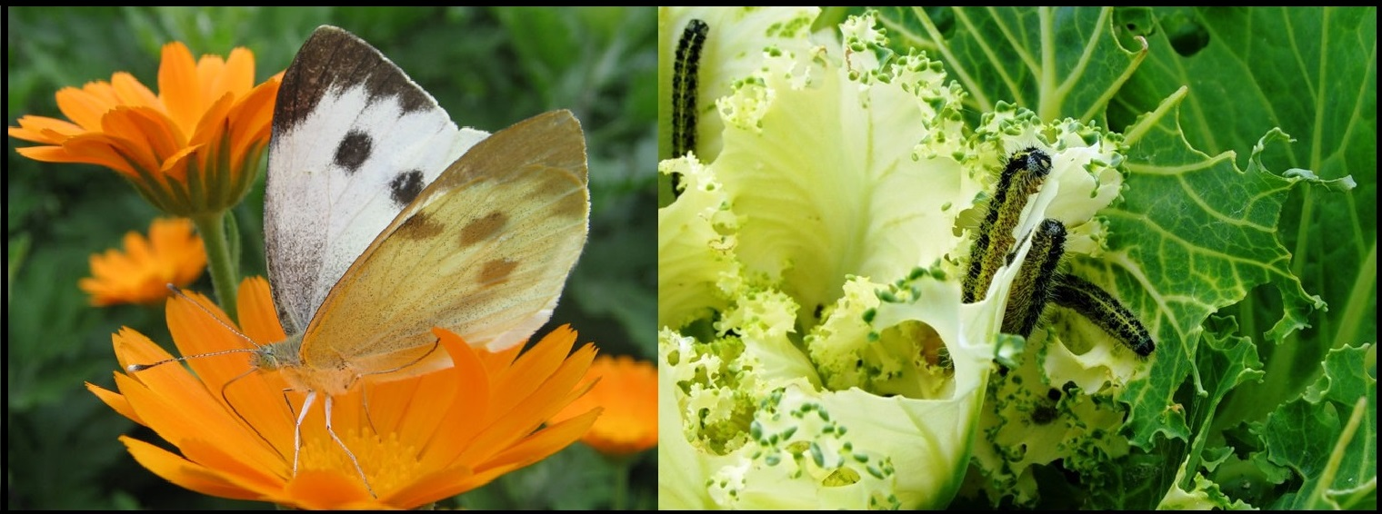 Как бороться с бабочками в огороде, саду и в крупах