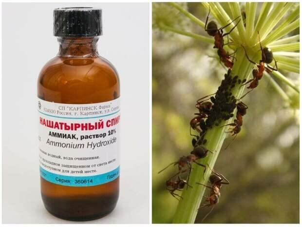 Нашатырный спирт от тараканов: рецепты применения