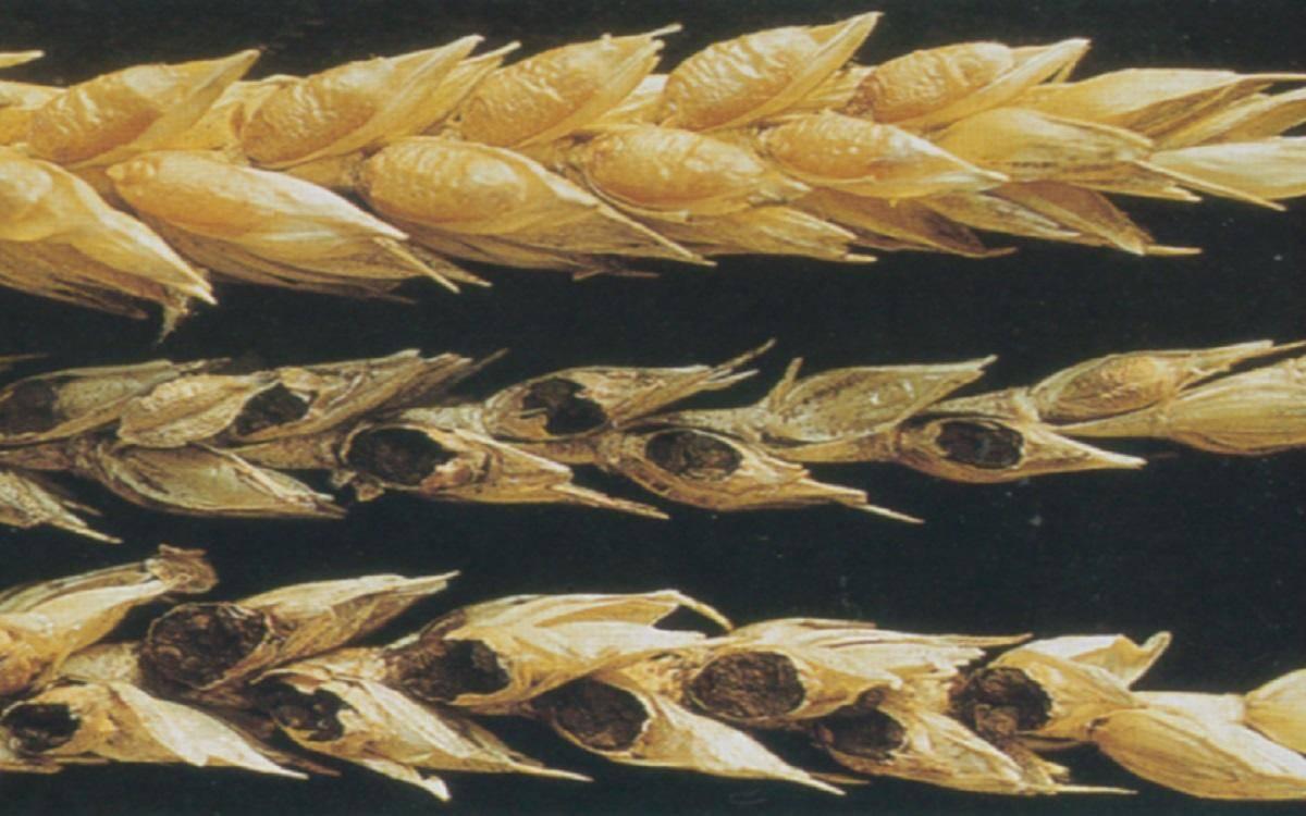 Трипс пшеничный hap thrips tritici - дневник садовода parnikisemena.ru