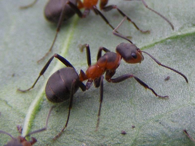Сколько живут муравьи