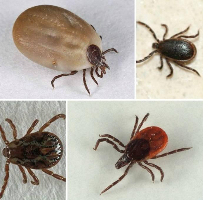 ❶ 7 видов клещей паразитирующих на животных, дома и в хозяйстве - описание, фото, как избавиться
