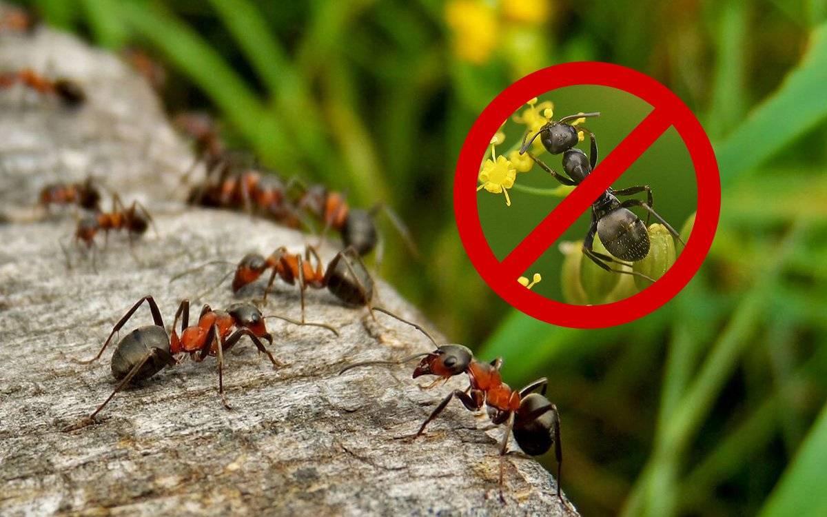 Как уничтожить муравейник