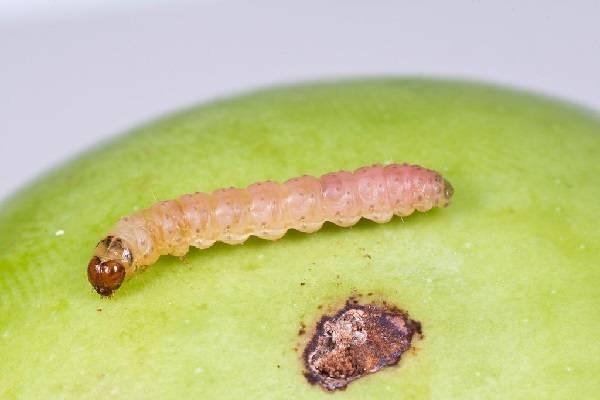 Яблонная плодожорка: описание с фото, меры борьбы