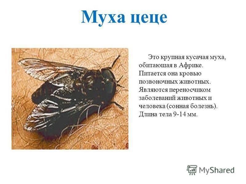 Описание и фото мухи цеце. образ жизни и среда обитания мухи цеце