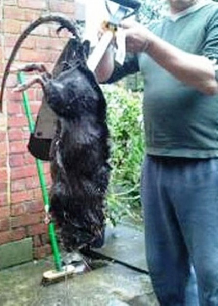 Самая большая крыса в мире: фото гигантского животного, как называются домашние и уличные, максимальный размер босави и бамбуковой крысы