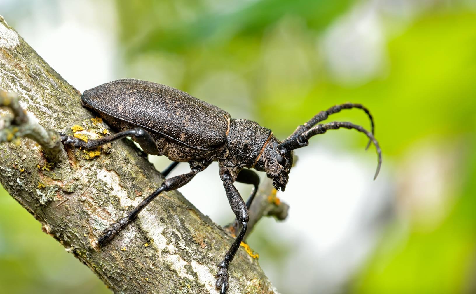 Acanthocinus aedilis: внешний вид и жизненный цикл насекомого