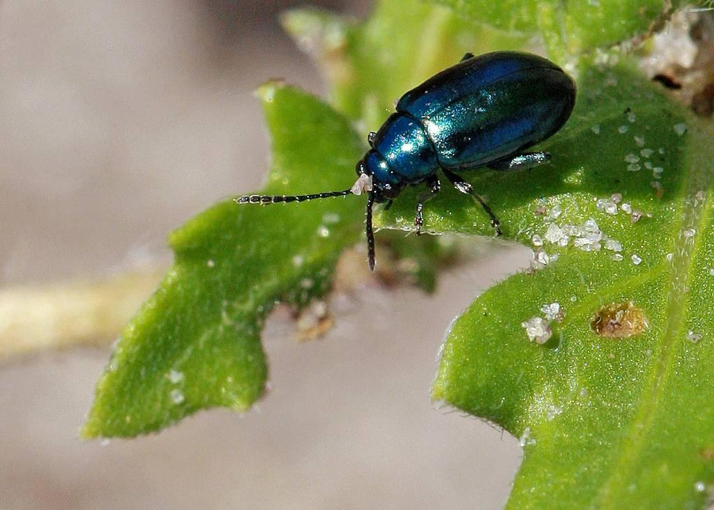 Чем обработать щавель от зеленых жучков: народные средства и действенная химия