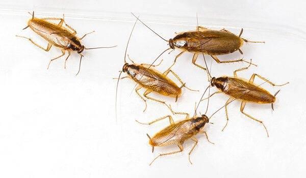 Особенности рыжего таракана прусака