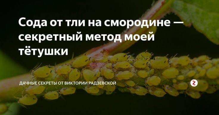Сода для смородины: против тли, для обильного урожая, от мучнистой росы, как обработать