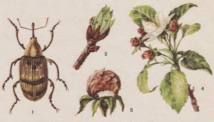 Яблоневый цветоед: вредоносность и варианты борьбы