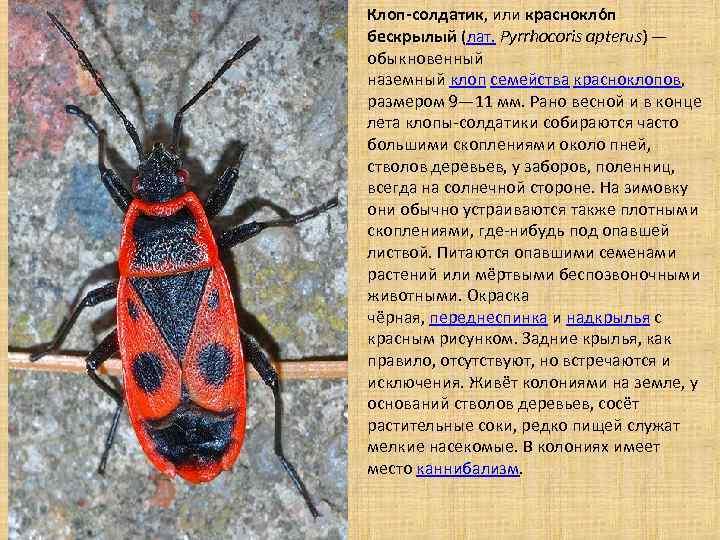 Красноклоп бескрылый: фото, биологическое значение и среда