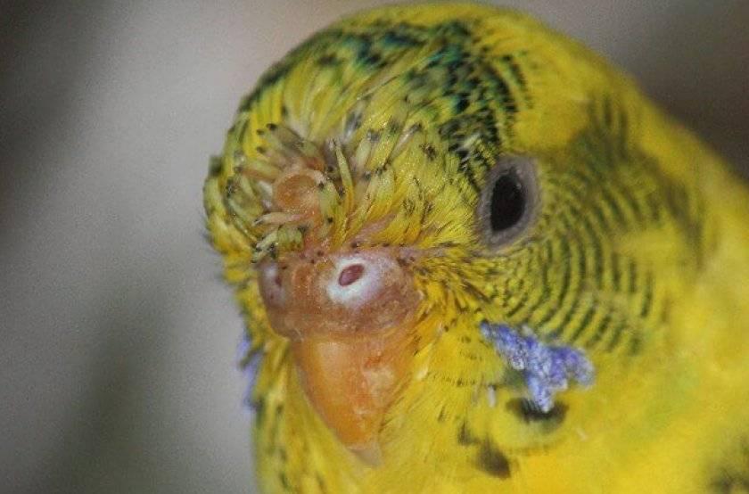 Клещ у попугая: симптомы и лечение