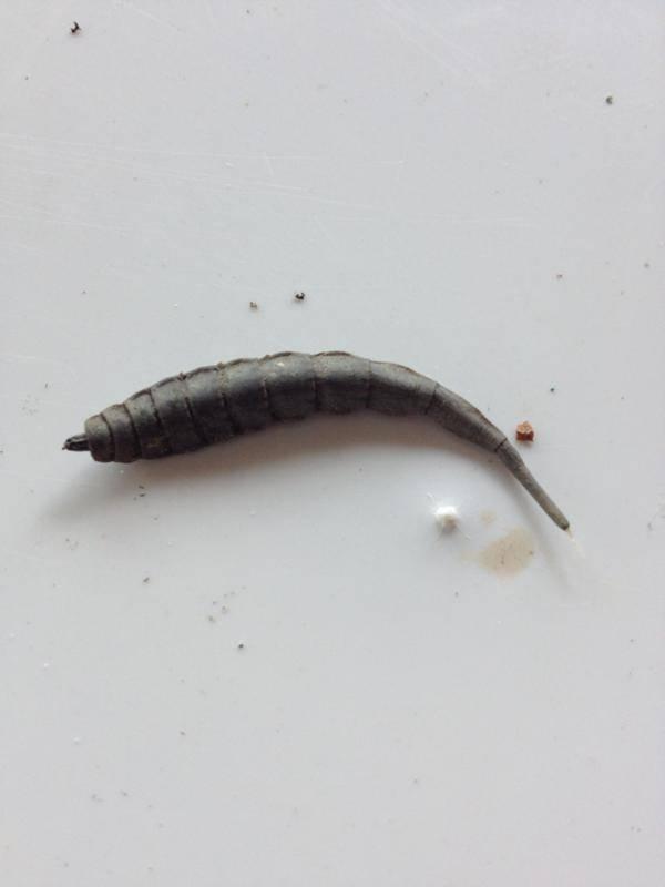 Как выглядит ферма по выращиванию личинок мух. что с них делают