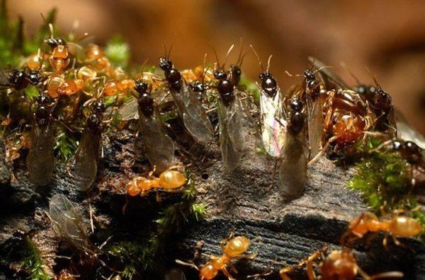Как бороться с муравьями на пасеке?
