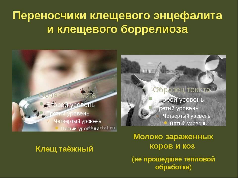 Передается ли энцефалит через козье и коровье молоко?