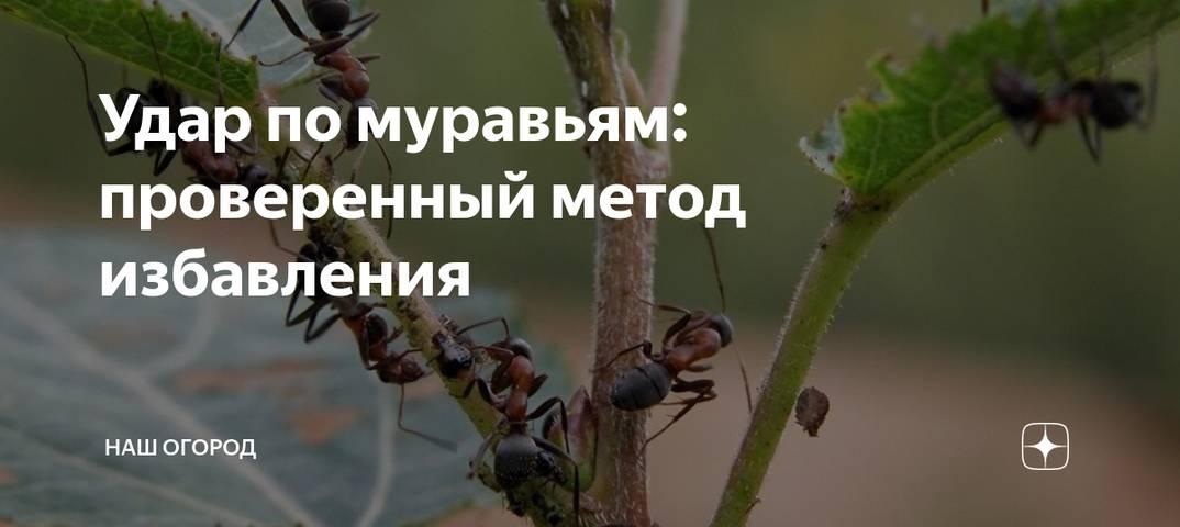 Как избавиться от муравьев на участке самостоятельно и навсегда, методы борьбы с муравьями на дачном садовом участке