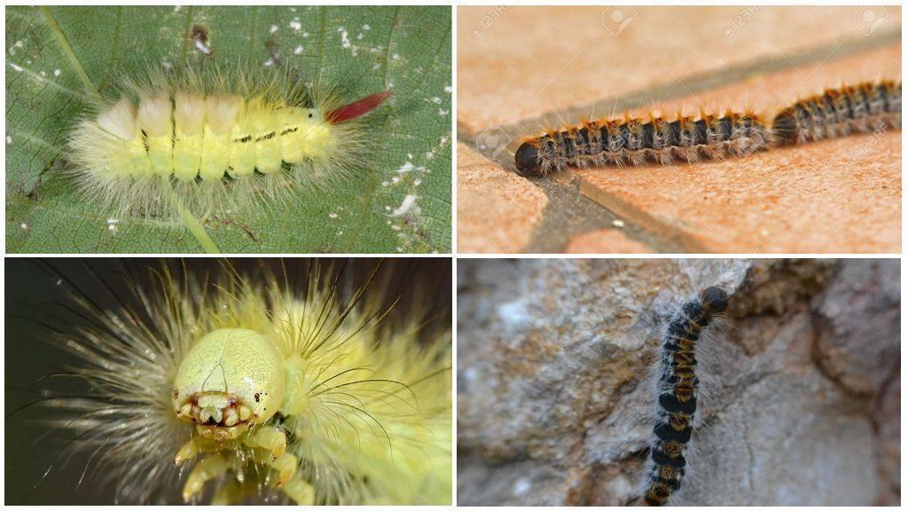 15 очаровательных  гусениц, которых вам не захочется потрогать