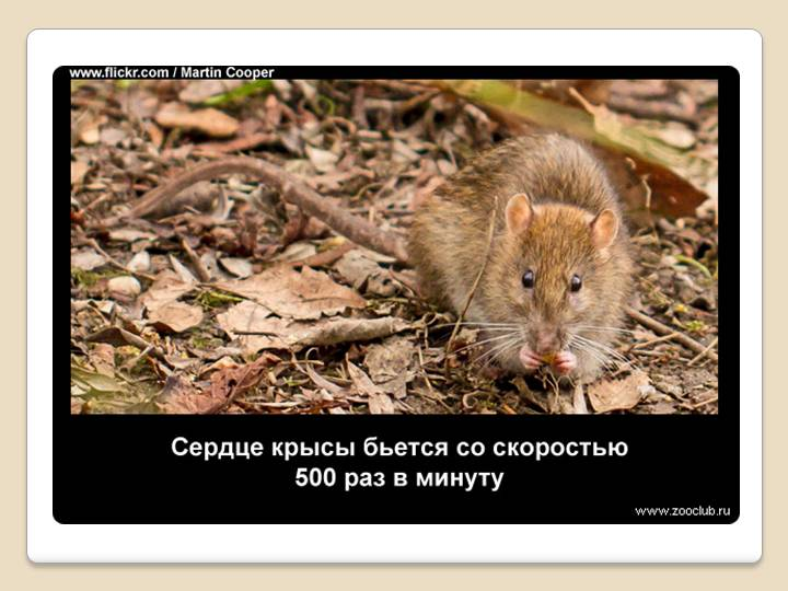 Детям про мышей и крыс. загадки и факты | цветы жизни