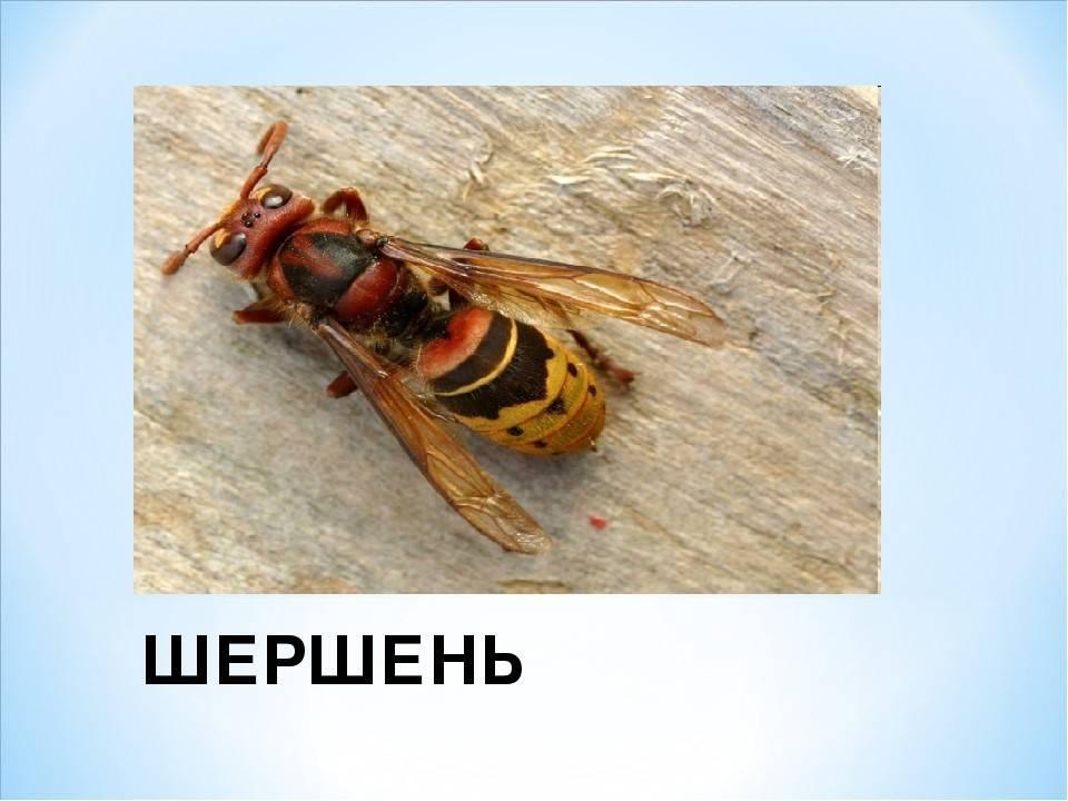 Шершень обыкновенный – факты о насекомом, которые стоит знать