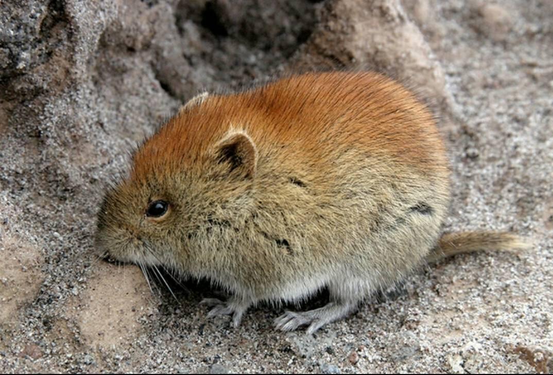 Мышь полевка или полевая мышь, чем отличается от городской, что ест