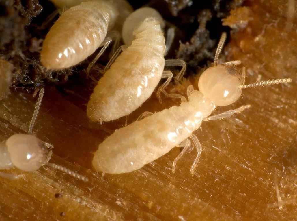 Что делать, если термиты появились в вашем доме? 17 способов как избавиться от термитов в доме