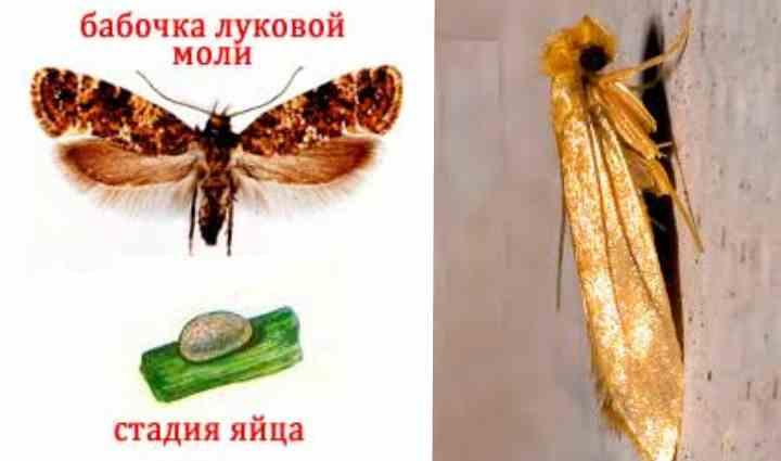 Что едят моли, как размножаются, опасно ли насекомое для человека