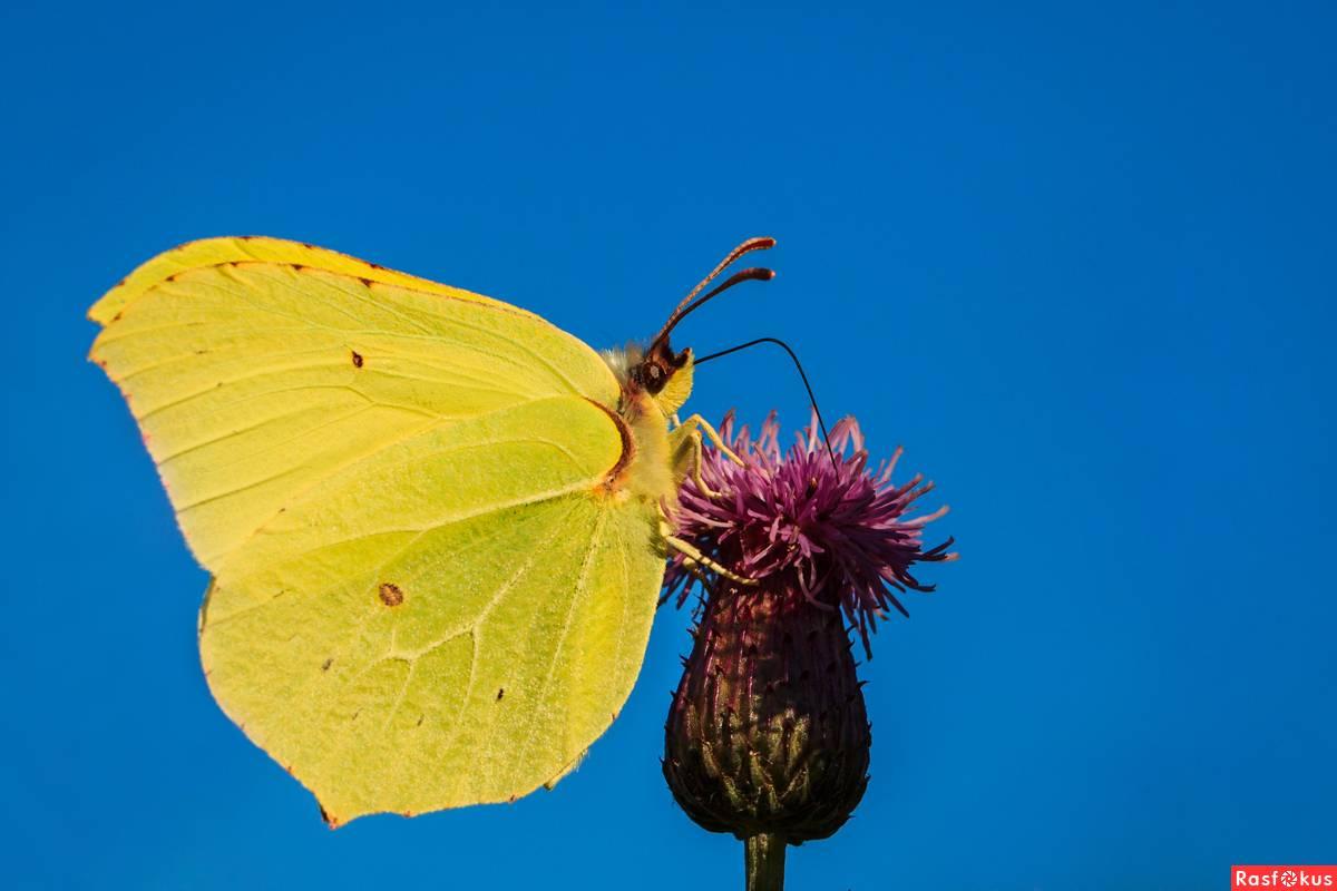 Бабочка лимонница: ее фото, интересные факты и подробное описание