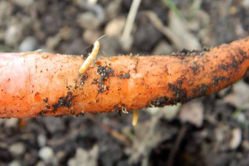 Способы борьбы с морковной мухой на грядках