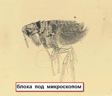 Постельные и бельевые блохи: фото паразитов и их укусов, а так же меры борьбы с ними русский фермер