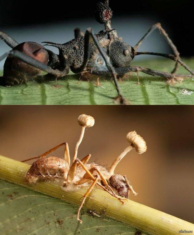 Кордицепс однобокий (гриб-паразит): общее описание, морфология, заражение муравьев и людей