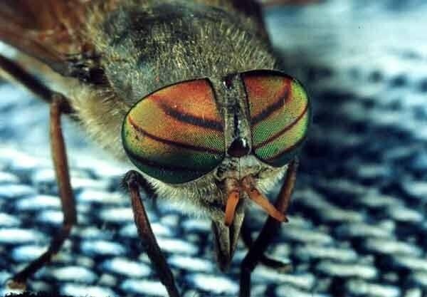 Дождевка обыкновенная: кровососущий паразит в природе, угроза для людей и животных