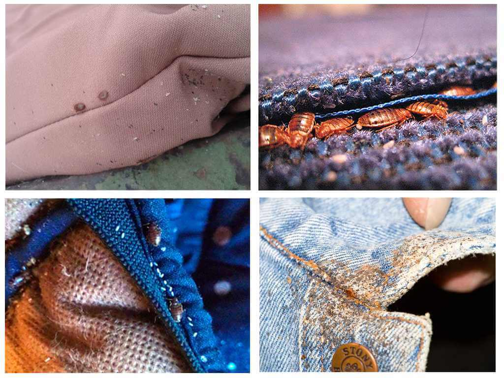 Живут ли клопы в одежде и могут ли укусить через нее: ответы